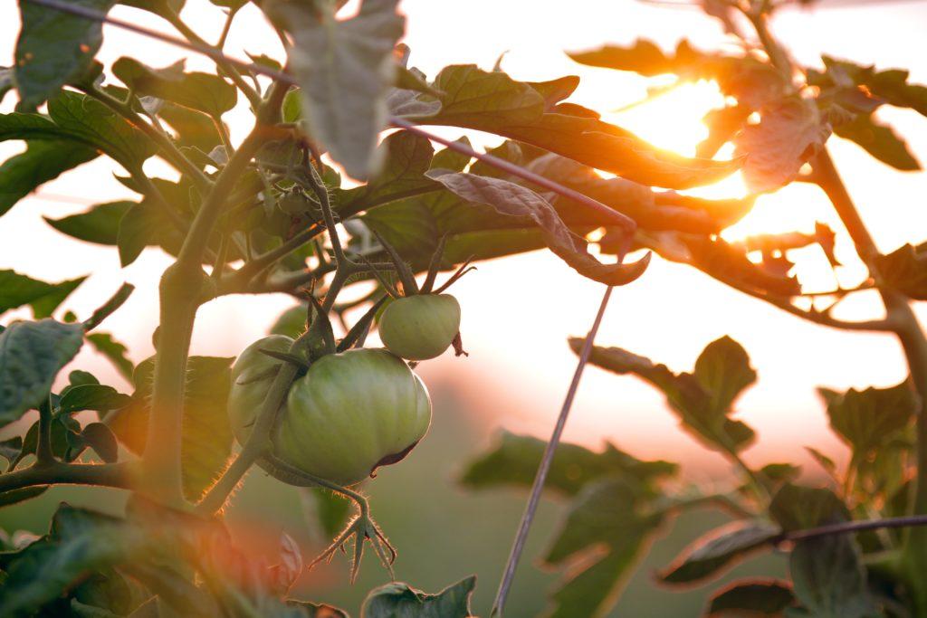 planter les tomates